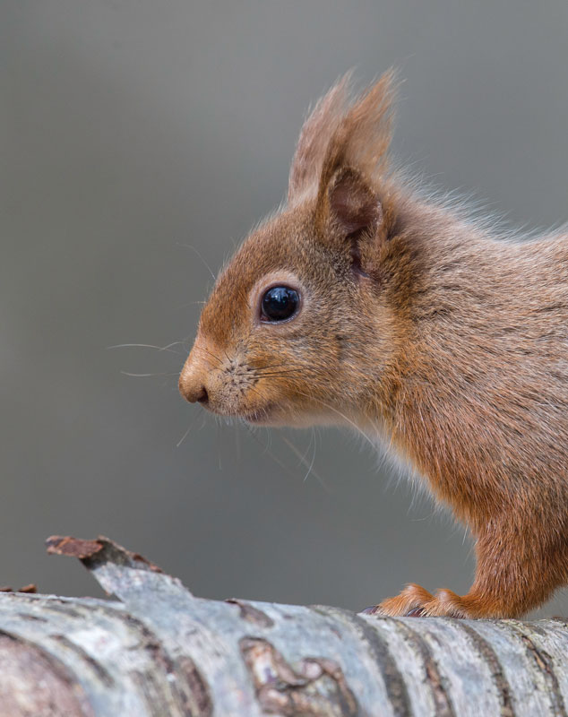 Lake District Red Squrrel