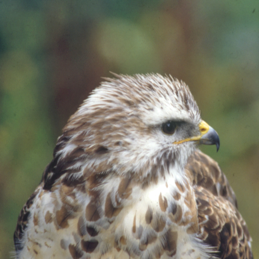 Image for article The Buzzard 'Flora and Fauna of the Lake District'